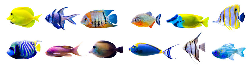 Tropical fish collection isolated on white