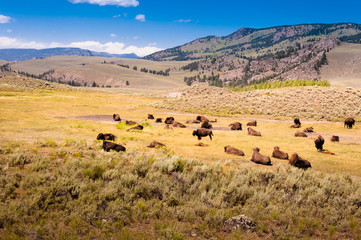 A herd of bison in the Yellowstone national park
