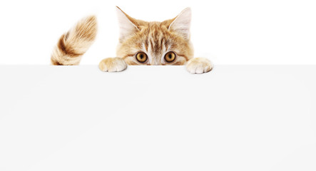 funny pet cat showing a placard isolated on white background blank web banner template and copy space