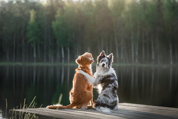 Dog Nova Scotia duck tolling Retriever and the border collie on the river