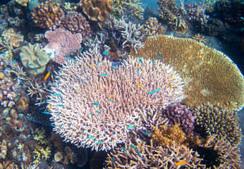 Underwater landscape with coral reef and tropical fish. Pink coral undersea photo.