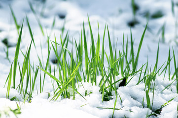 green shoots of fresh grass make their way from under the snow in the spring under the first rays of the sun