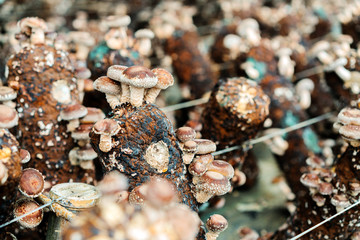Artificial cultivated mushrooms