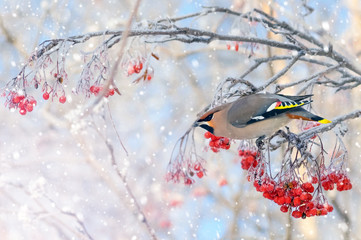 Background with bird waxing on  branch of frozen mountain ash