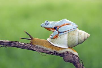 Rzekotka, latająca żaba, javan tree frog