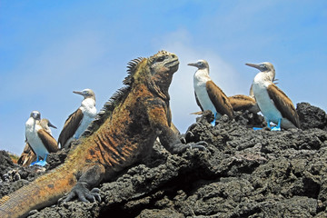 Marine iguana with blue footed boobies, booby, Sula nebouxii and Amblyrhynchus cristatus, on Isabela Island, Galapagos, Ecuador, South America