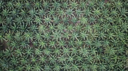Oil palm plantation. Palm oil trees. Aerial photo
