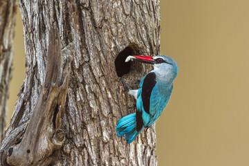 Woodland kingfisher in Kruger National park, South Africa