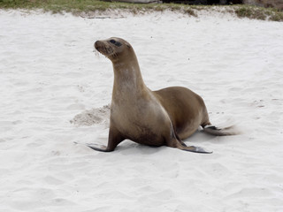 Female Sea Lion, Zalophus californianus wollebaeki, on the beach, San Cristobal, Galapagos, Ecuador