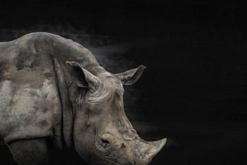 rhino animal black and white background, can use as poster or conservation concept