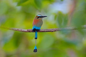 Turquise-browed Motmot, Eumomota superciliosa, portrait of nice big bird wild nature, beautiful coloured forest background, art view, Costa Rica. Nice big bird, wild nature, tropic