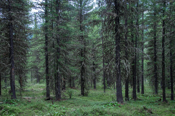 Taiga, forest in Russia at summer season, coniferous trees covered with moss