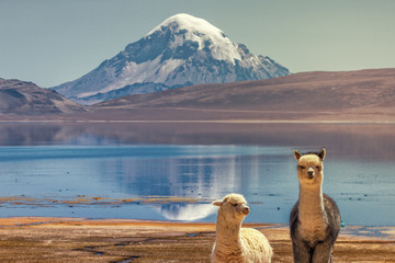 Alpaca's (Vicugna pacos) grazing on the shore of Lake Chungara at the base of Sajama volcano, in the northern Chile.