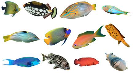Ryby rafowe Oceanu Indyjskiego i Pacyfiku oraz Morza Czerwonego. Tropikalna ryba odizolowywająca na białym tle