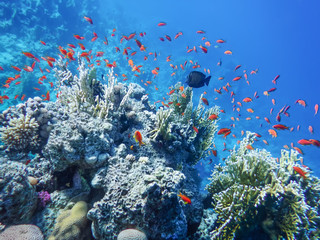 The underwater world of the Red Sea, golden antias, corals