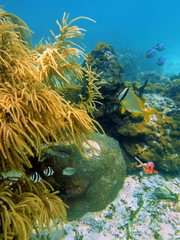 Underwater fish with soft and stony corals, Caribbean sea