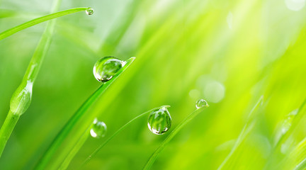 Beautiful large drops of fresh morning dew macro in nature. Drops transparent water  on grass. Spring background with copy space.