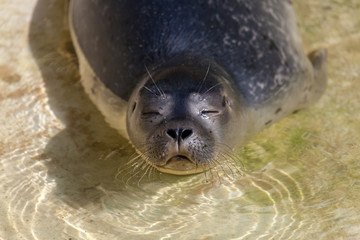 a young seal swims in a lake