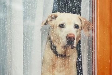 Sad dog waiting alone at home