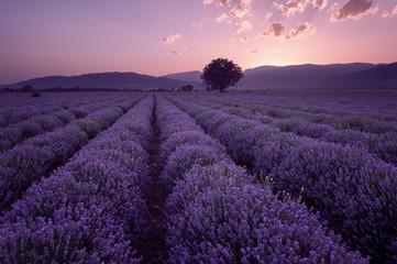 Pola lawendy. Piękny obraz pola lawendy. Letni zachód słońca, kontrastujące kolory. Ciemne chmury, dramatyczny zachód słońca.