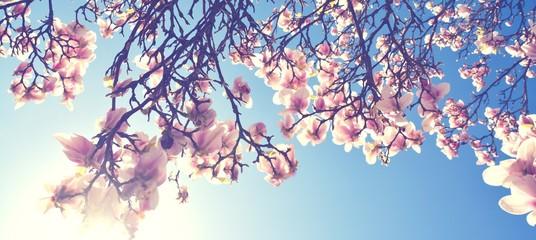 Magnolien Blüte im Frühling