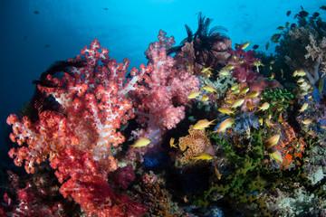 Vibrant Coral Reef in the Philippines Near Cabilao Island