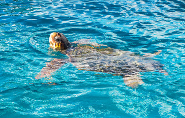 Big sea turtle Caretta spoted near Zakynthos island