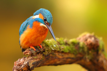 King fisher perched in a branch with colorful background