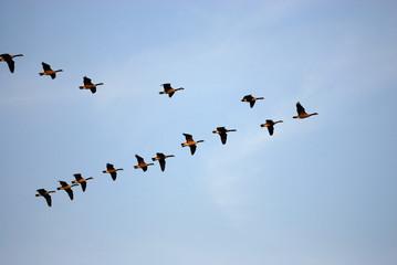 latające gęsi kanadyjskie w grupie pod błękitne niebo