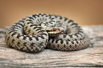 beautiful common viper male