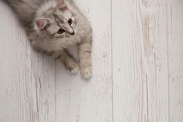 Gray cat lay on wooden floor