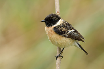 Siberian or Asian stonechat (Saxicola maurus) beautiful chubby brown bird with black striped head and wings perching on wooden stick beside grass bush, exotic animal