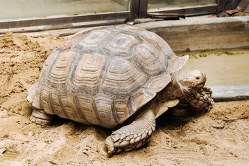 Adult African Spurred Tortoise