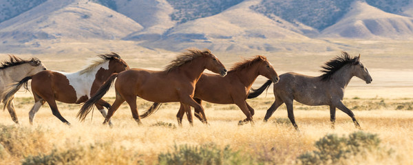 Herd of Wild Horses Running
