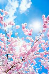 Rosa Kirschblüten im Frühling bei Sonnenschein im Hochformat