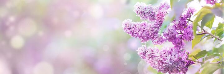 Lila kwiat wiosny okwitnięcie, słonecznego dnia bokeh lekki tło