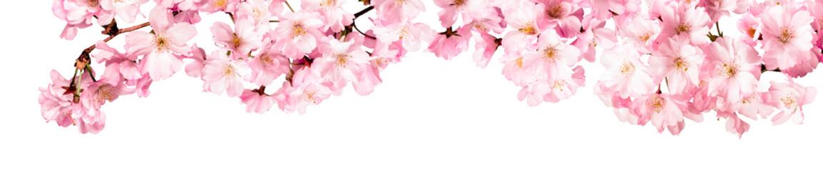 Rosa Kirschblüten Freisteller Panorama auf weißem Hintergrund