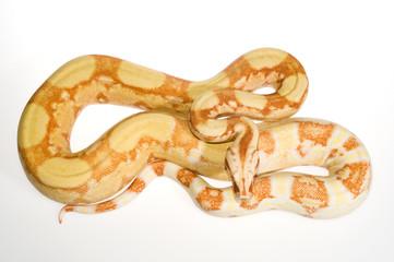 Albino Boa / Abgottschlange (Boa constrictor) - red-tailed boa
