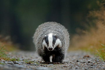 Badger running in forest road.