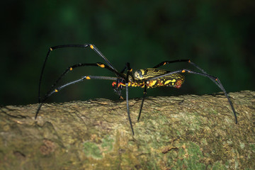 Image of Golden Long-jawed Orb-weaver Spider(Nephila pilipes) on tree. Insect. Animal