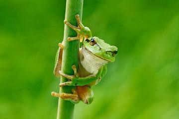 Europejska drzewna żaba, Hyla arborea, siedzi na trawy słomie z jasnym zielonym tłem. Fajny zielony płaz w naturalnym środowisku. Dzika żaba na łące blisko rzeki, siedlisko.
