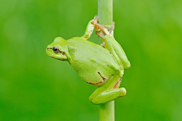 Nice green amphibian in nature habitat. Wild frog on meadow near the river, habitat. European tree frog, Hyla arborea, sitting on grass straw with clear green background.