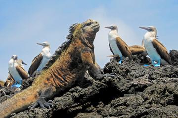 Legwan morski z głuptakami, dureń, Sula nebouxii i Amblyrhynchus cristatus na wyspie Isabela, Galapagos, Ekwador, Ameryka Południowa