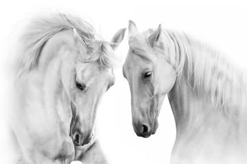 Para biały koń na białym tle