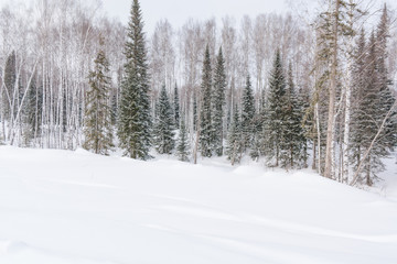 Winter forest, taiga. Forest in winter in Siberia. Taiga pines in the winter. Trees under the snow.