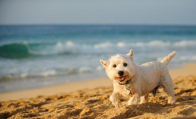West Highland White Terrier dog outdoor portrait walking on ocean beach