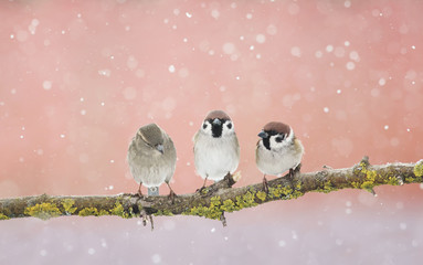 three funny little Sparrow birds sitting on a branch in the Park and looking at each other in early spring
