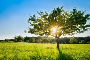 Pojedynczy drzewo w świetle słonecznym na zielonej łące