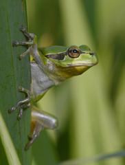 Europäischer Laubfrosch (Hyla arborea) - European tree frog