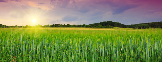 Sunset on green barley field .
